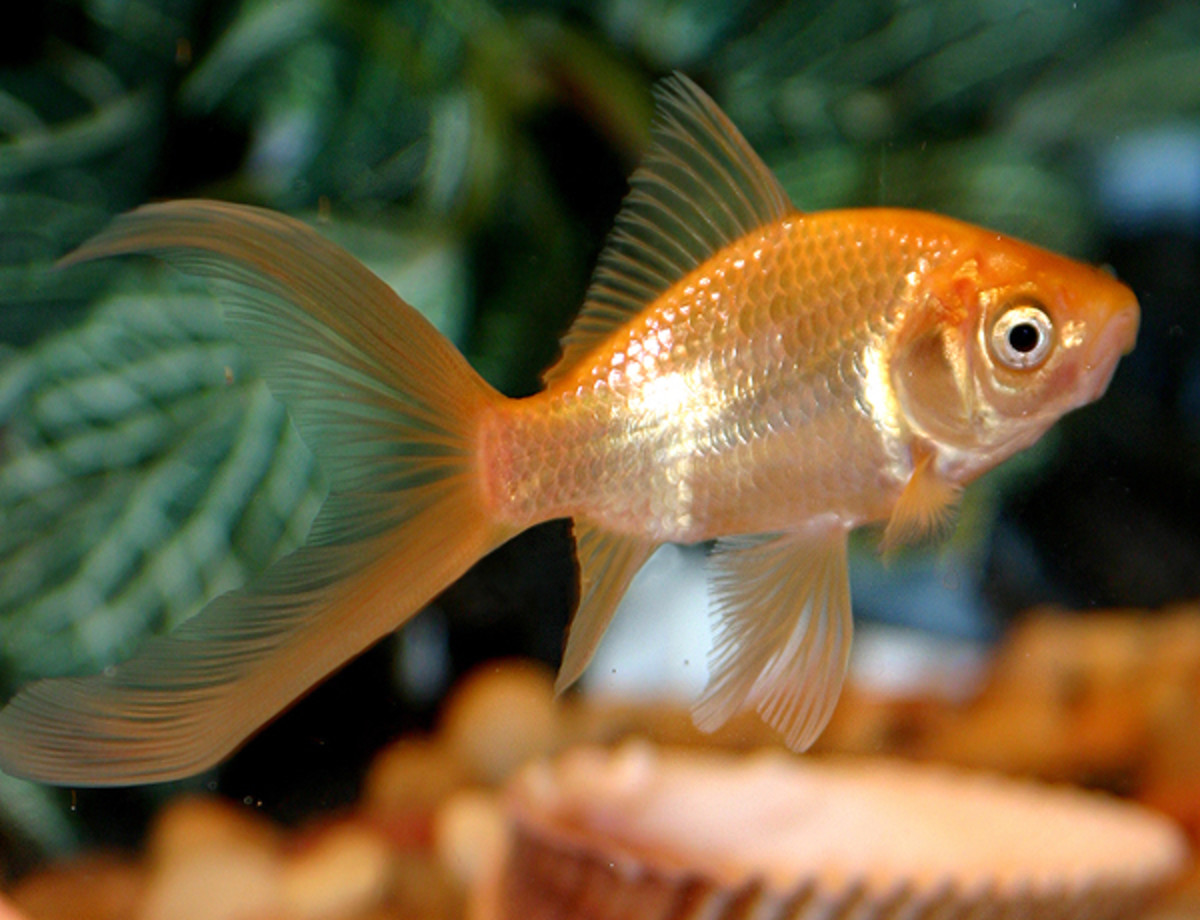 Goldfish are not good tankmates for betta fish.