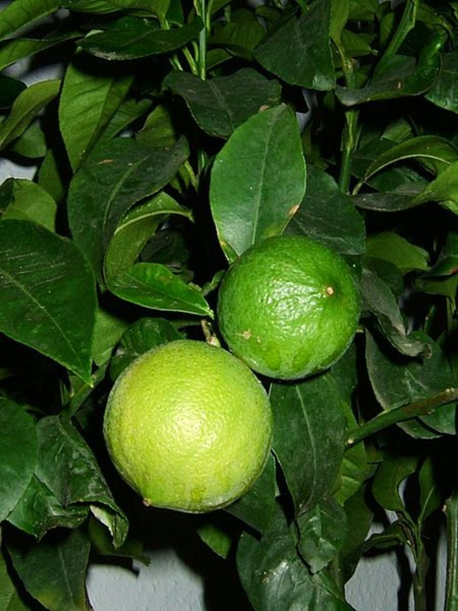 The Bergamot Orange Fruit.