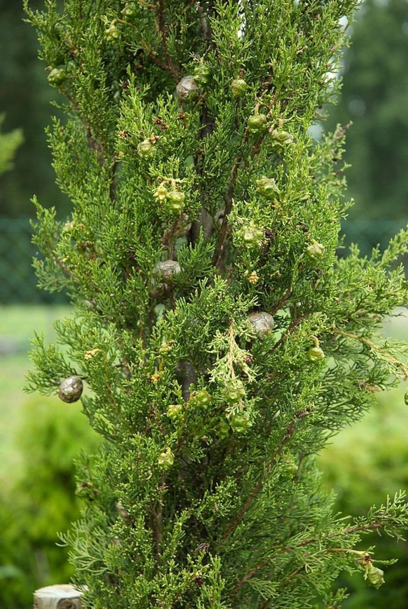Foliage and cones of the Cypress tree.