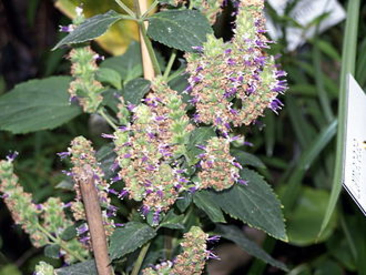 Flowers of the Patchouli Shrub.