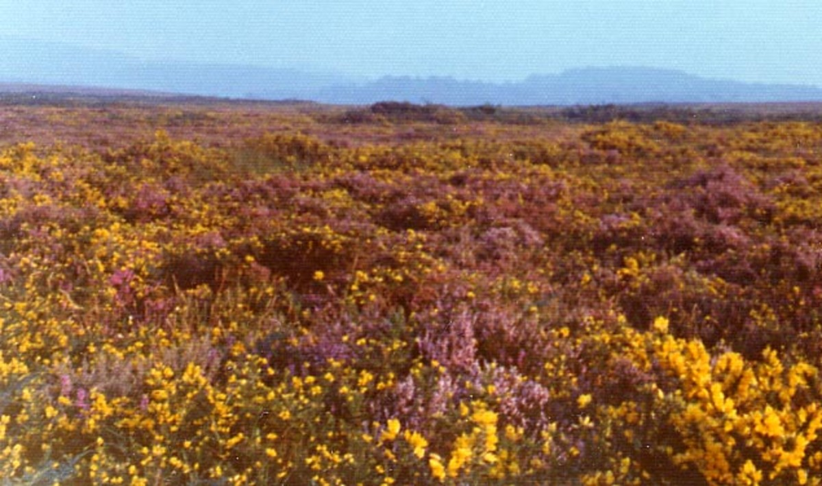 Heathland at Woodbury Common