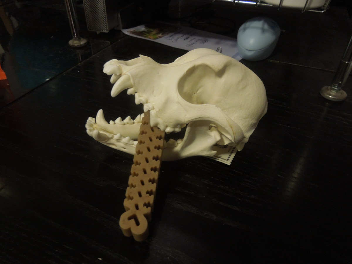 Dogs Chew with 4th and 1st PreMolars
