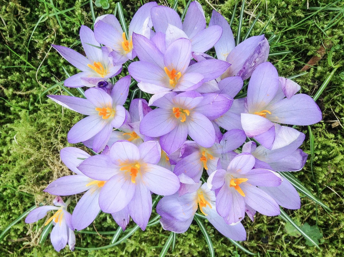Crocus - Beautiful Flowers, Saffron Spice and Colchicine