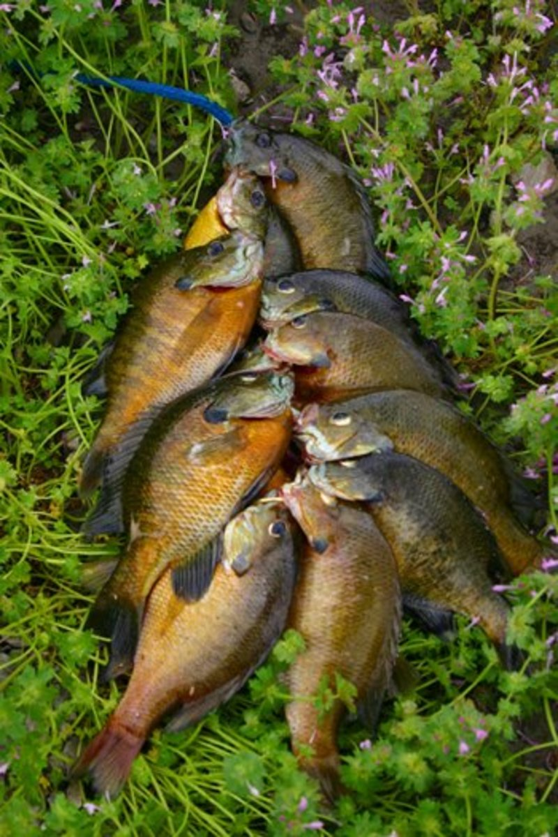A stringer of bluegills destined for the fryer.