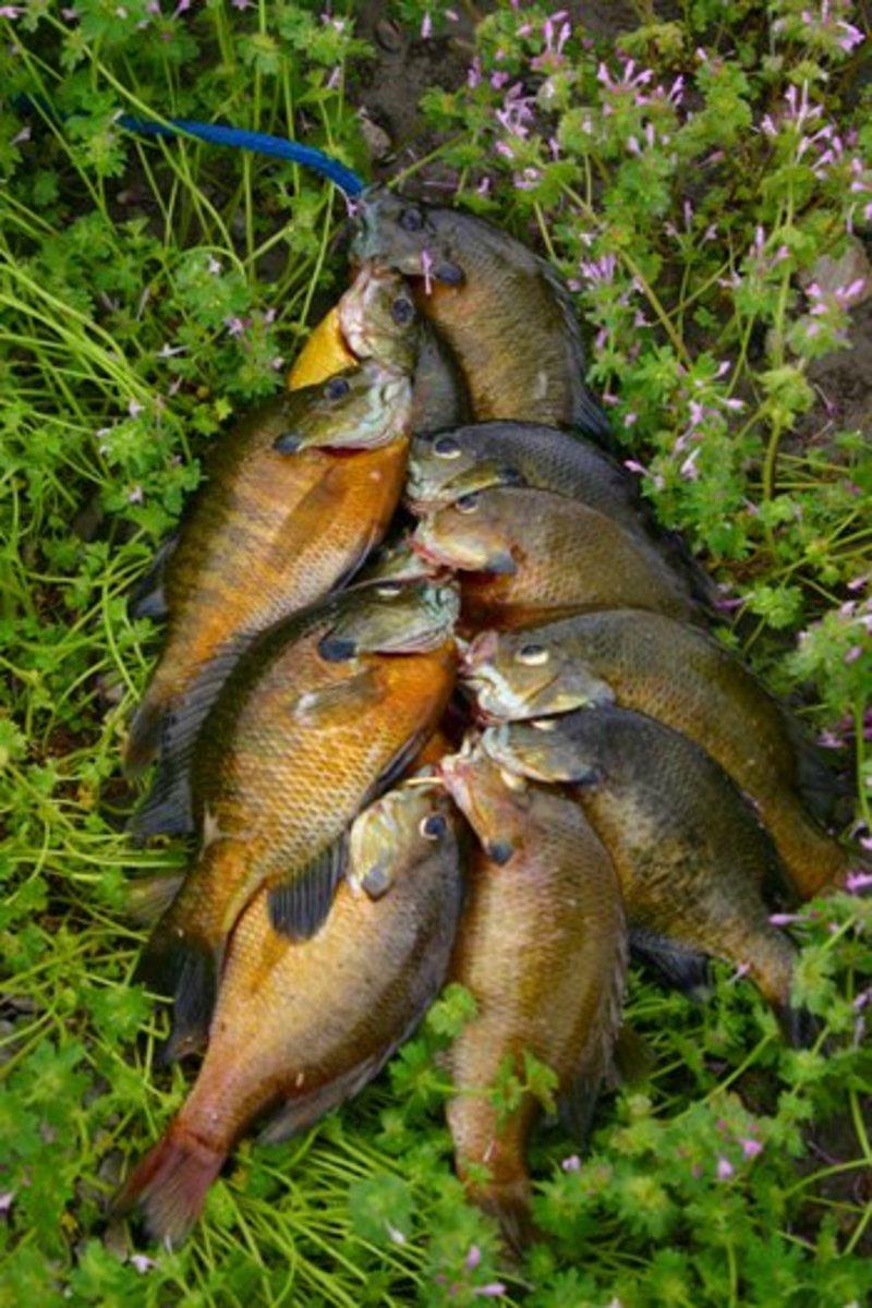 Stringer of bluegills destined for the fryer for Blue gill fishing