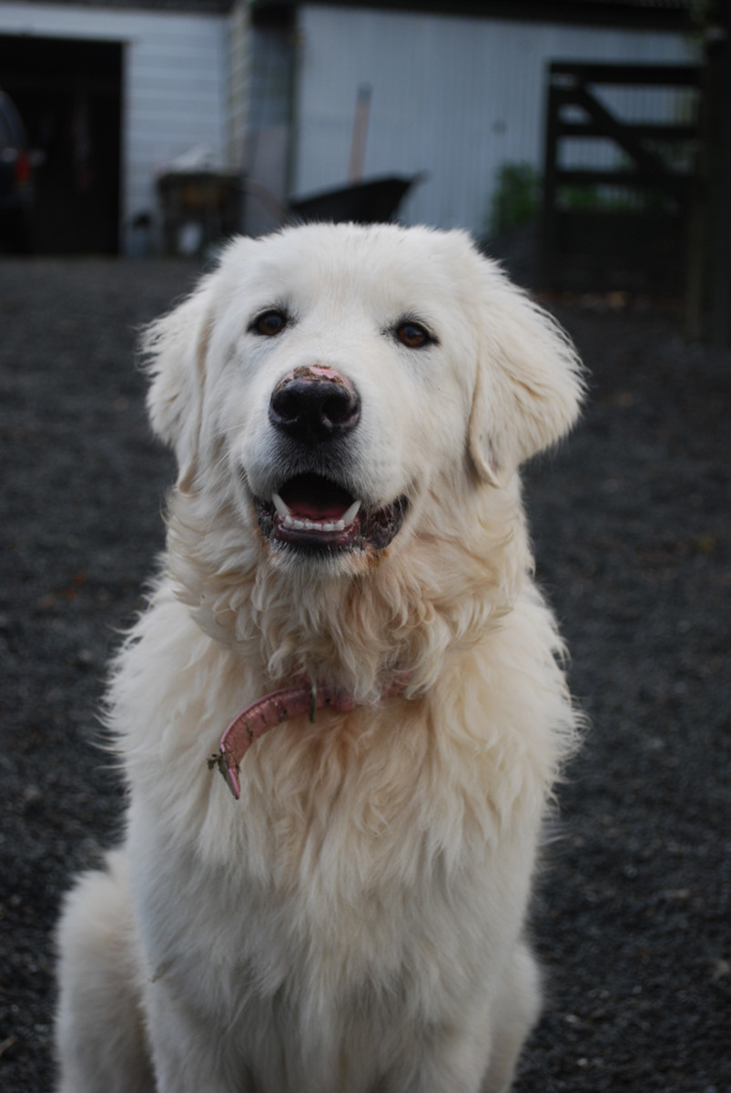 Rolly, our beautiful Maremma who passed away in tragic circumstances.