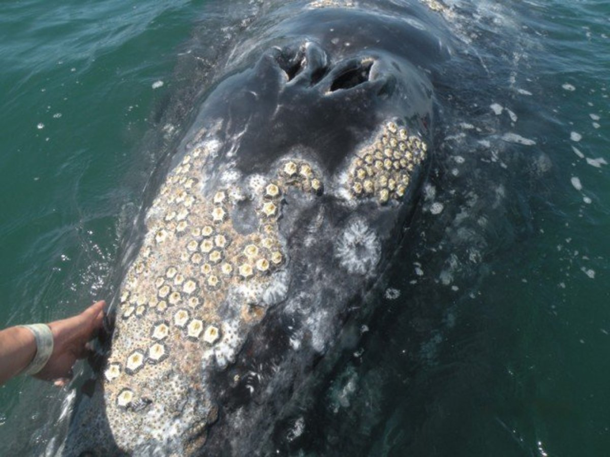 commensalistic relationship between barnacles and whales