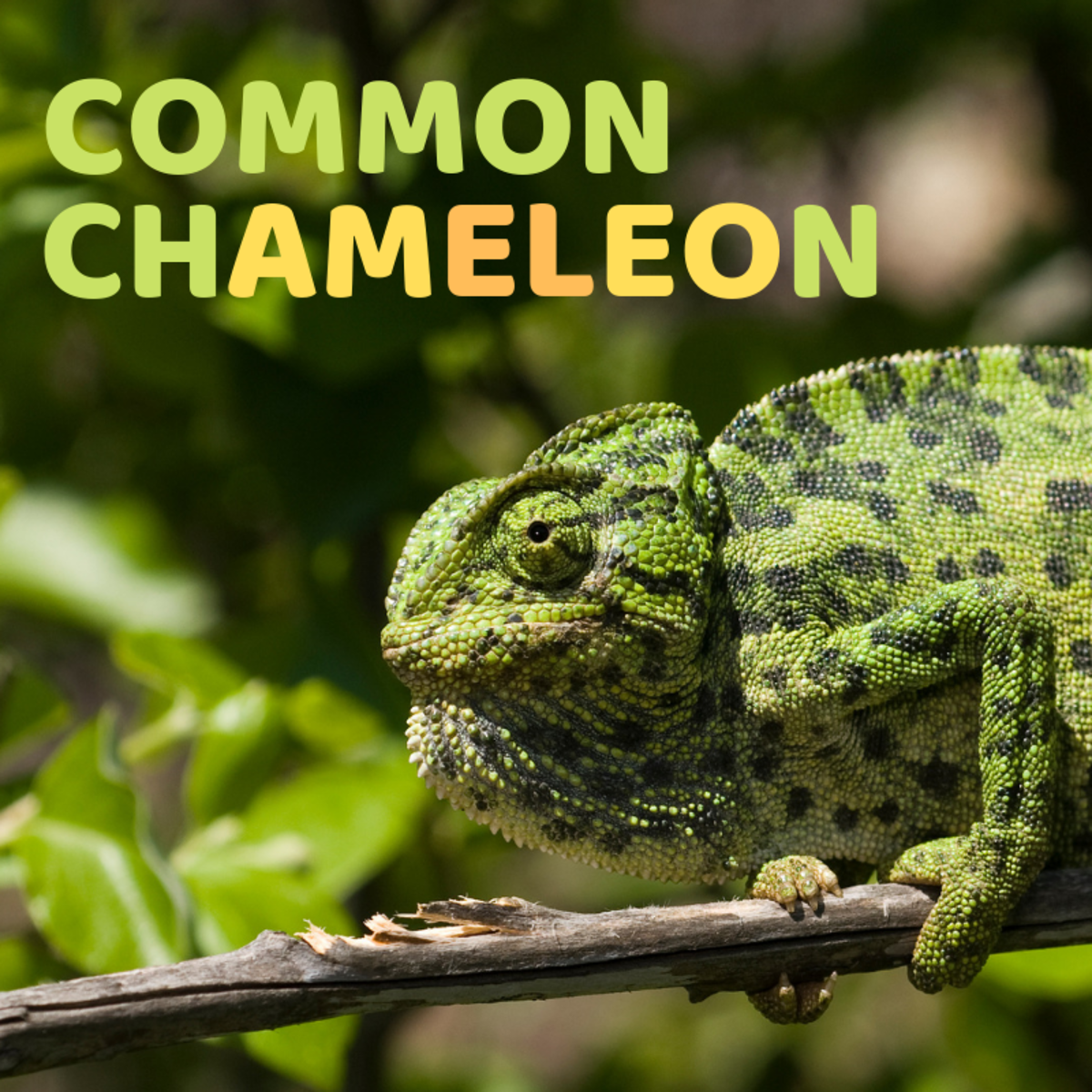 Meet the only chameleon that can be found in the wild in European countries—Chamaeleo chamaeleon.