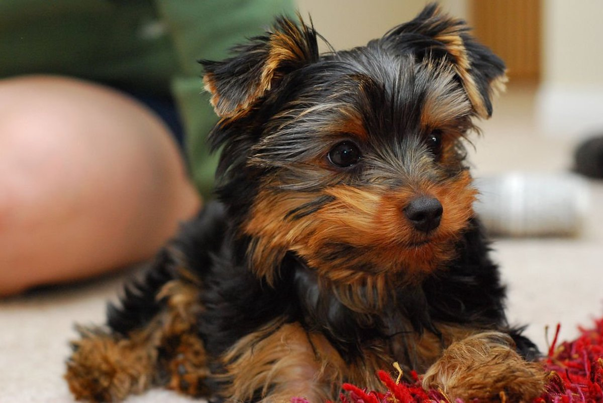 Yorkie Puppies need the right supplies to keep them happy and healthy.