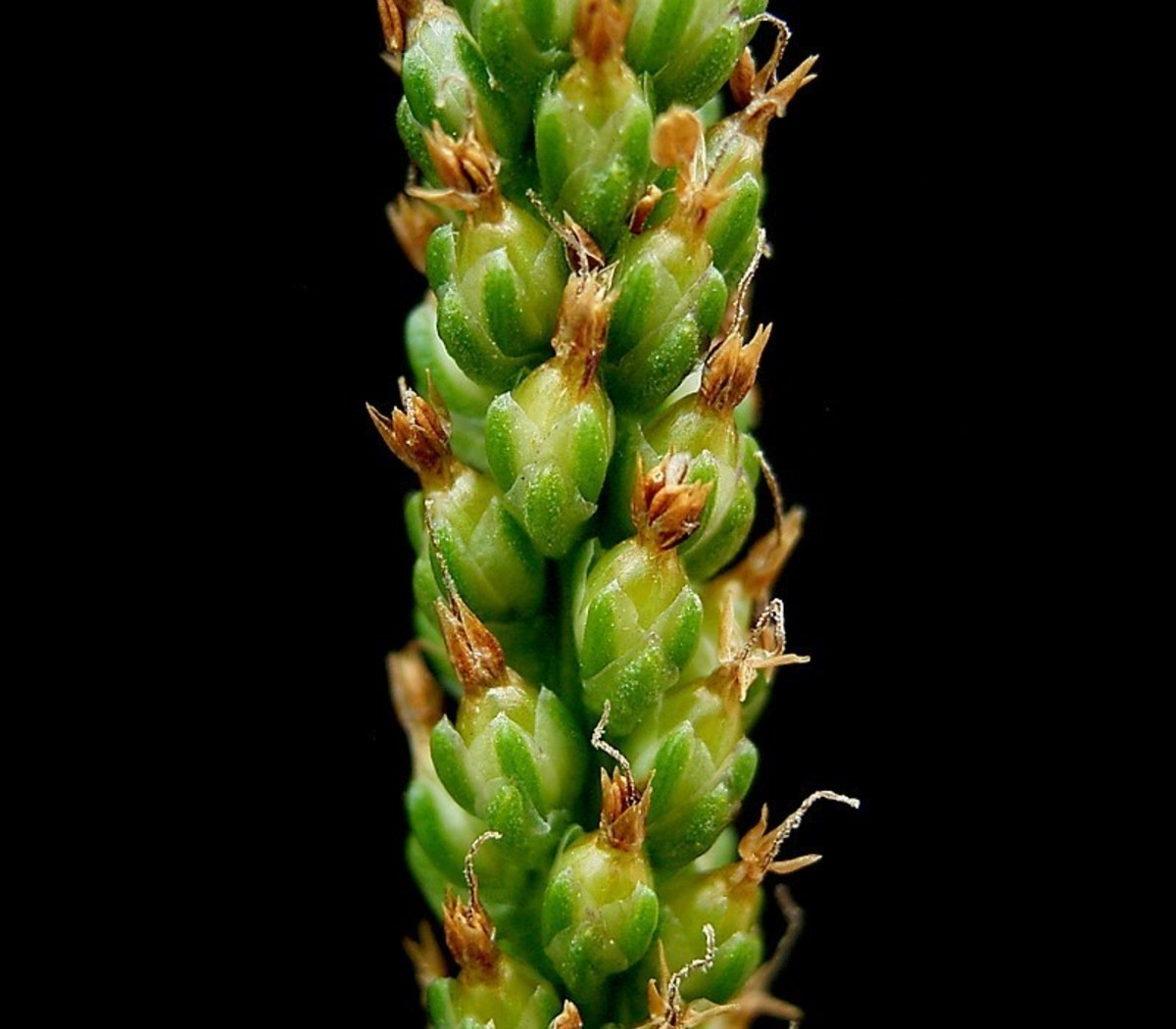 The seeds located at the top of the stalk are a great source of fiber!