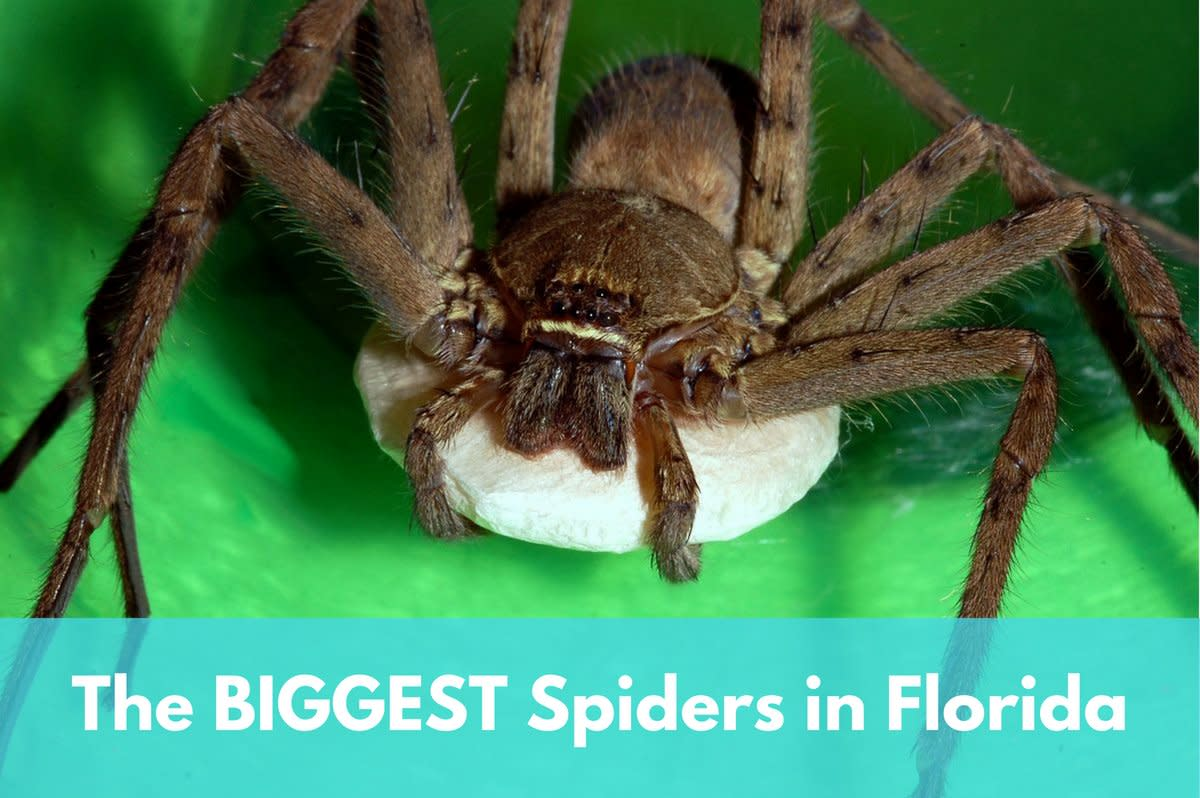 Female huntsman spider with her egg sac. This species is generally considered the biggest in Florida, often reaching six inches across.