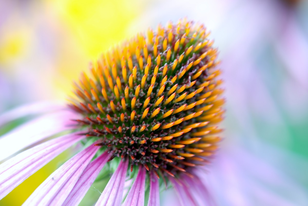Great Plains Native Americans used echinacea for cold and flu, coughs, dyspepsia, tonsillitis, colic gonorrhea and even snakebites