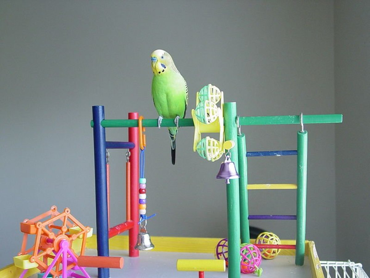 How to Care for Your Pet Budgie