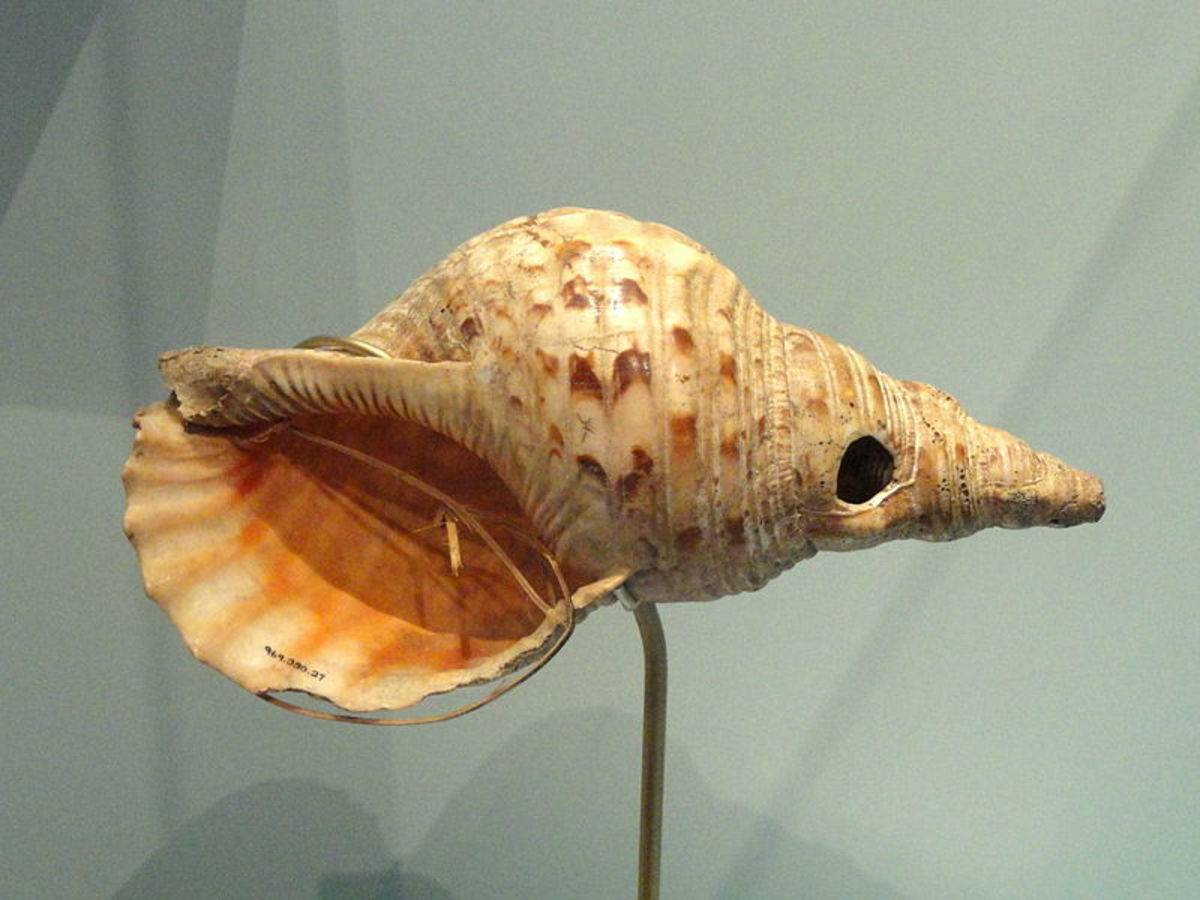 Conch Shell Trumpet on Display.