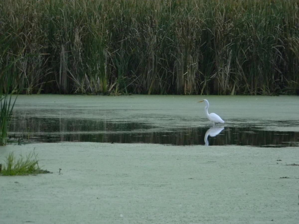 Egret In Volo Bog