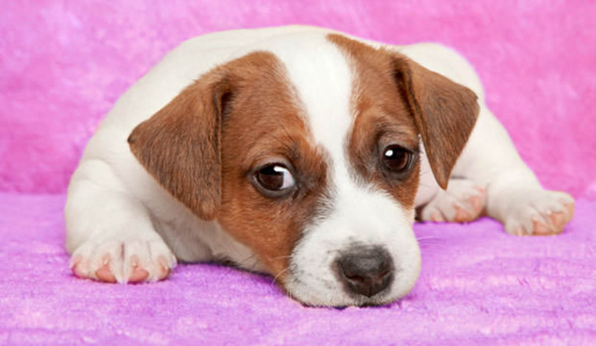 Jack Russell Terriers are generally a healthy breed, but they are susceptible to certain common ailments.