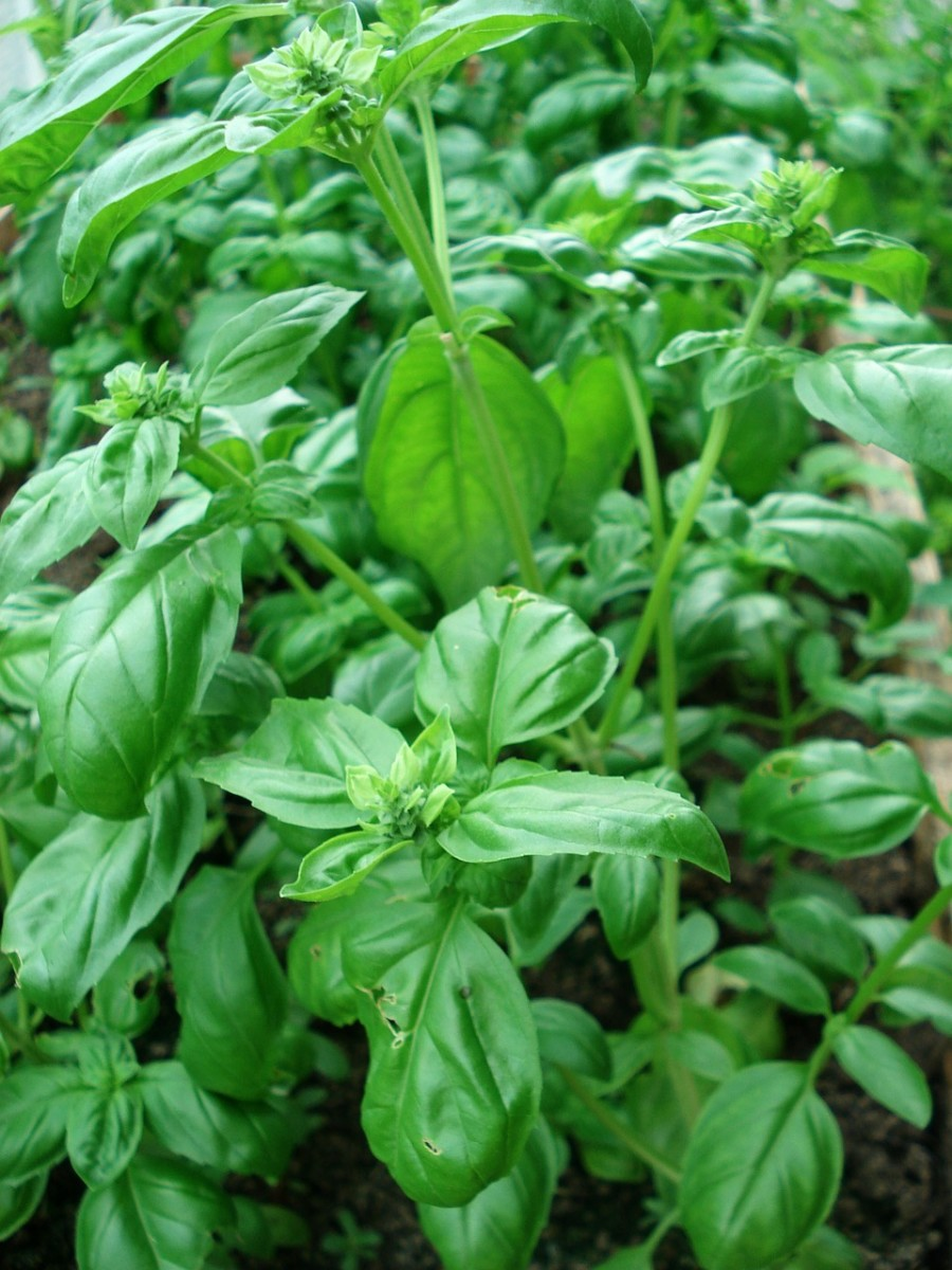 Exploring Basil: A Simple Plant with a Complicated Story