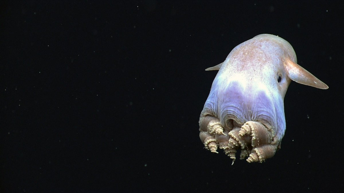 Fascinating Facts about Octopuses - Adorable, Dumbo and a Genome