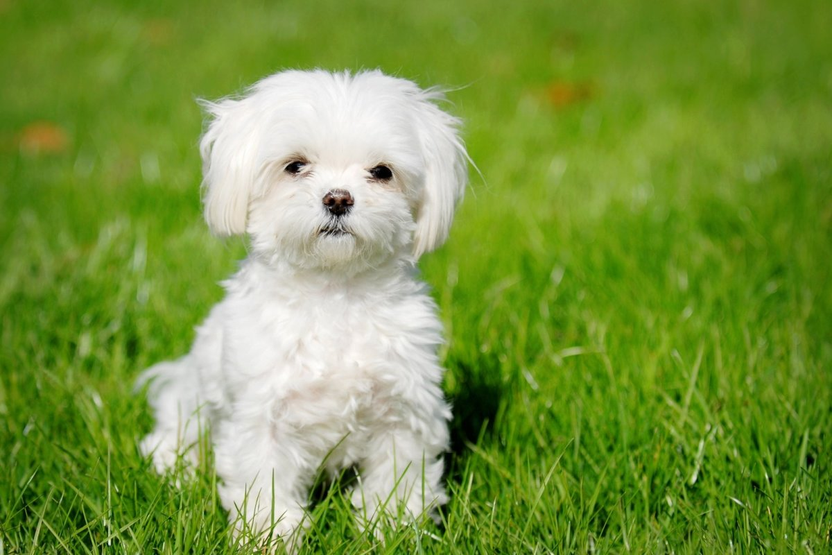 Top 10 Most Expensive Dog Breeds in India
