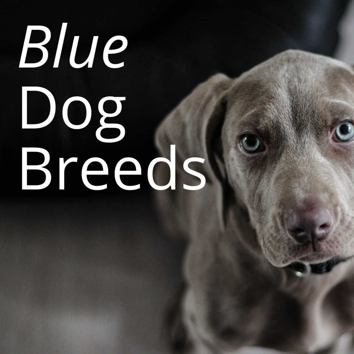 Blue Dog Breeds What Makes Them So