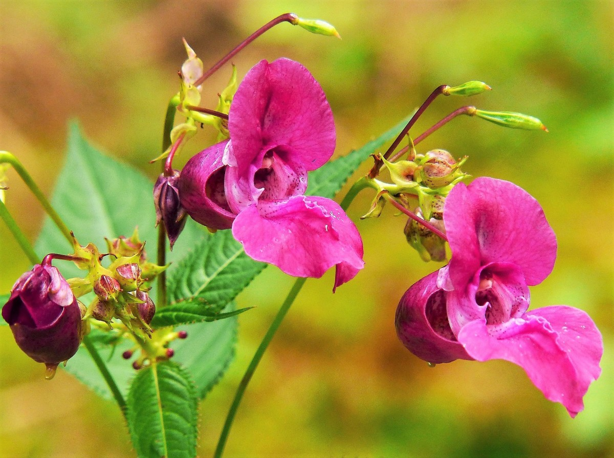 A Himalayan balsam plant with dark pink flowers