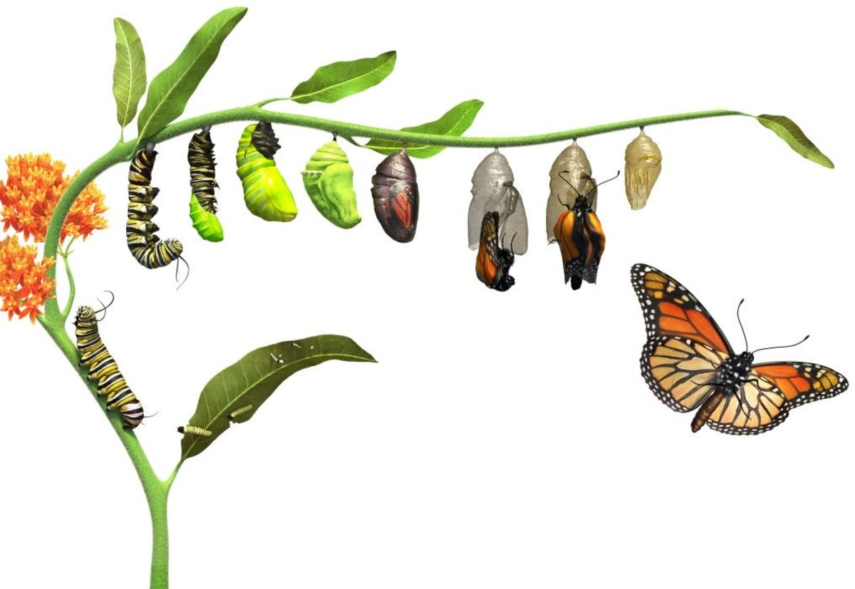 Why Do Caterpillars Turn Into Butterflies?