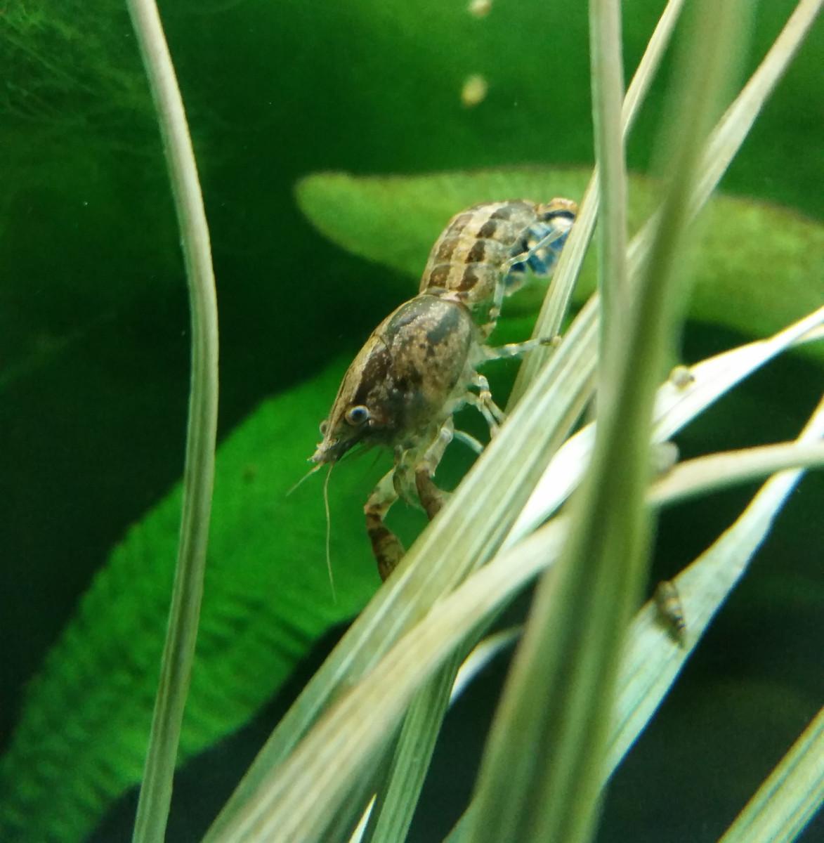 How to Care for Cajun Dwarf Crayfish (Cambarellus shufeldtii)