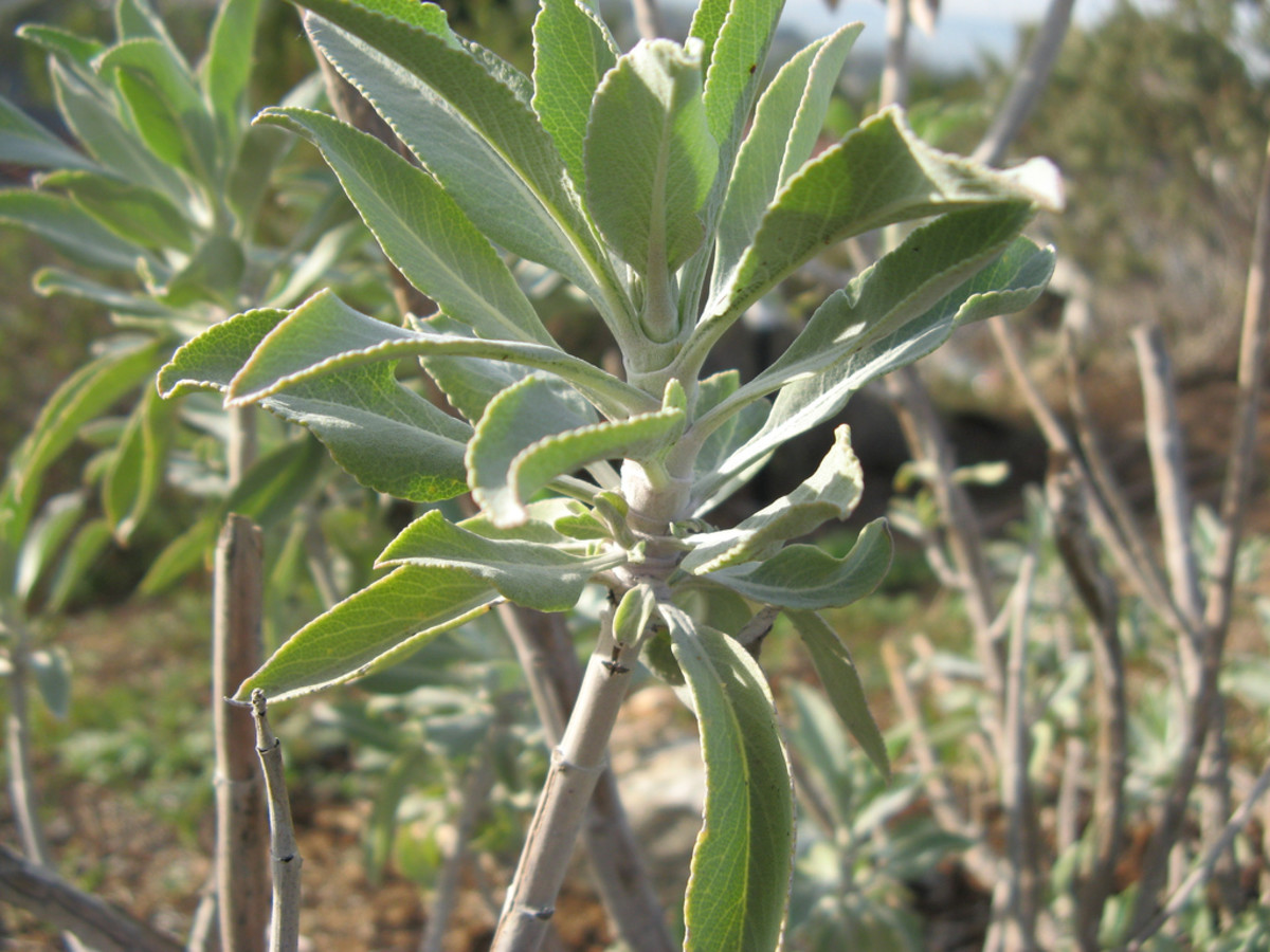 White sage Plant - Used to make smudge sticks for energy clearing