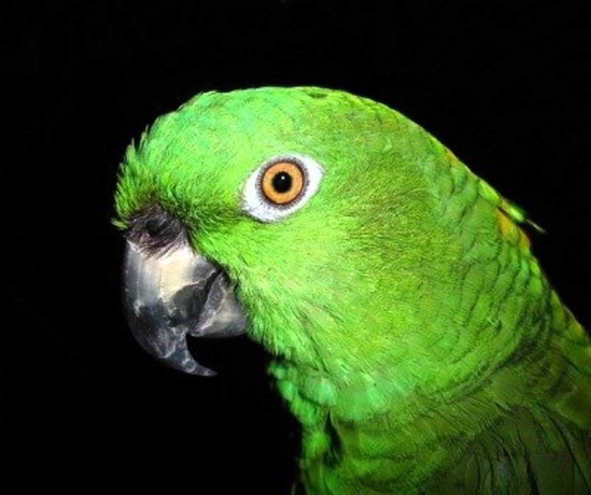Teaching a Pet Parrot to Talk