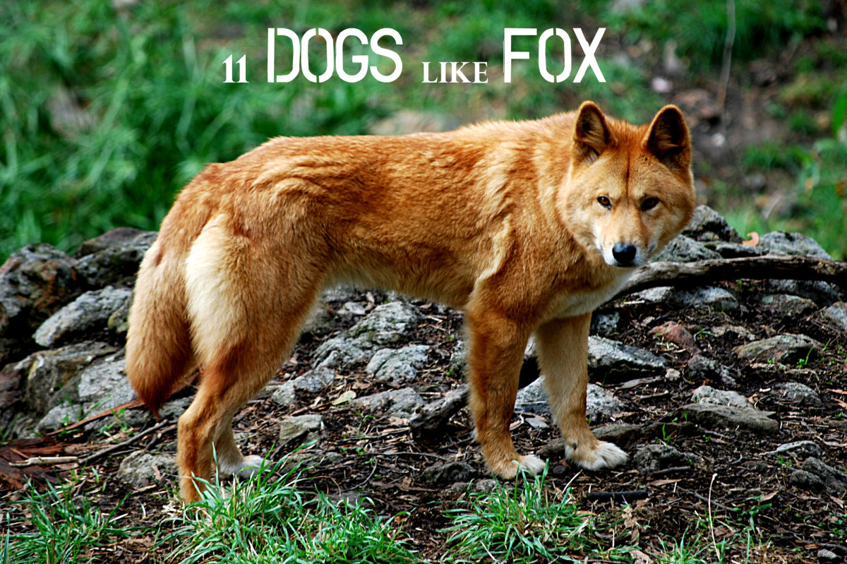 Can Foxes Bark Like Dogs