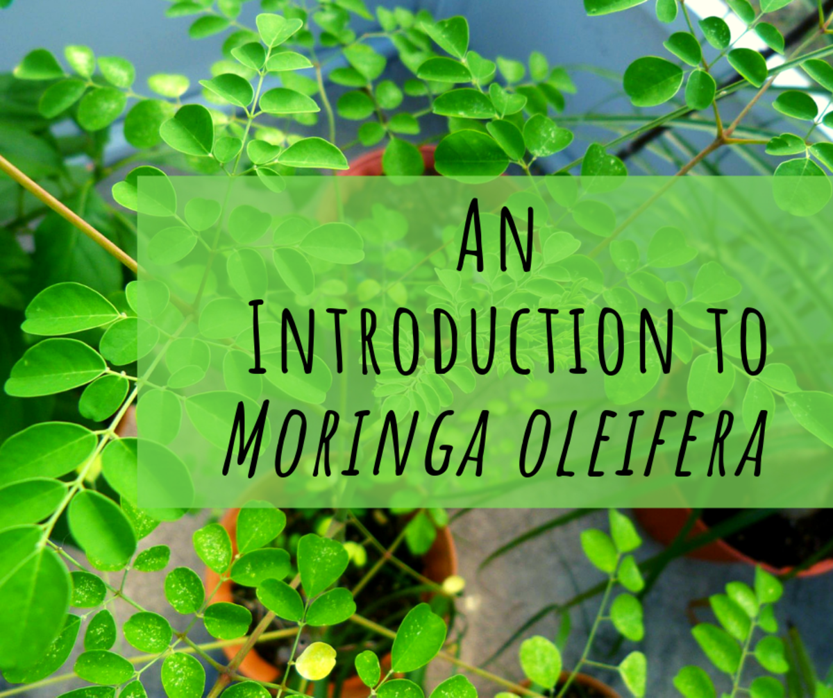 A Guide to Moringa oleifera: Miracle Superfood or Scam?