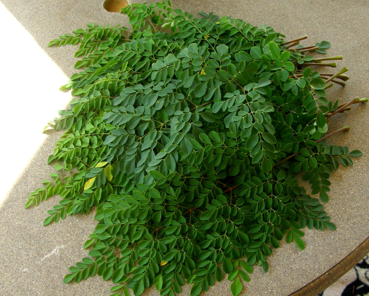Harvested Moringa o. leaves ready to be dried and made into tea bags. I blend the leaves with other herbs like lemongrass and peppermint.