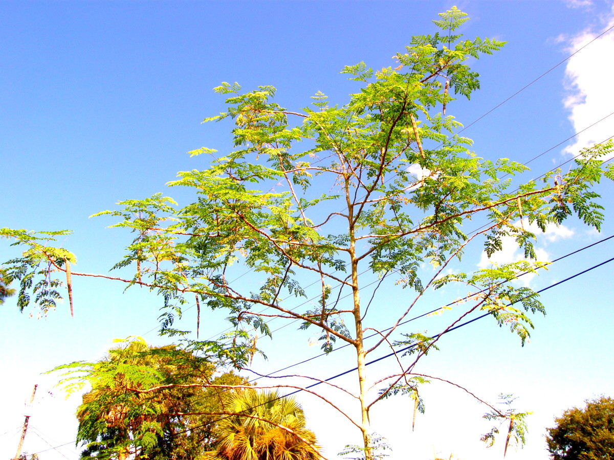 My moringa tree on September 10, 2016, filled with pods.