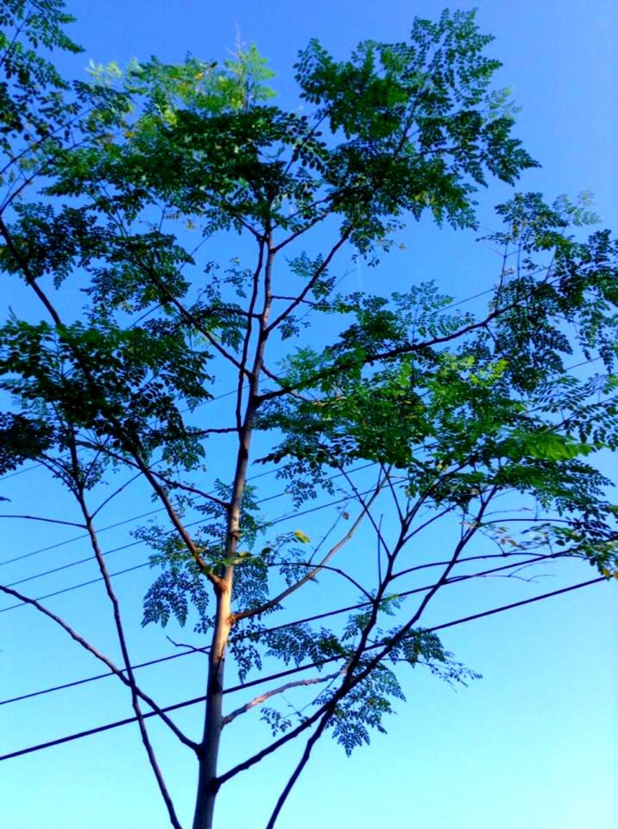 My Moringa o. tree. Moringa trees must be harvested before cold weather hits.