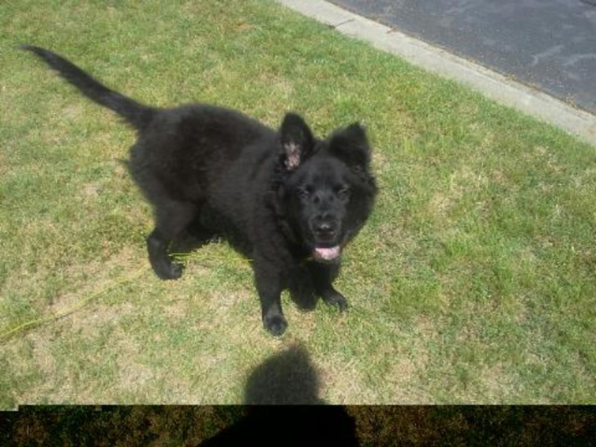 Bear, my Chabrador (Chow Chow and Labrador mix). Five months old.