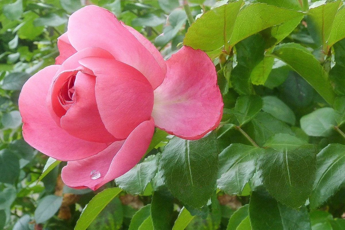 The secret garden is filled with rose bushes that need help.