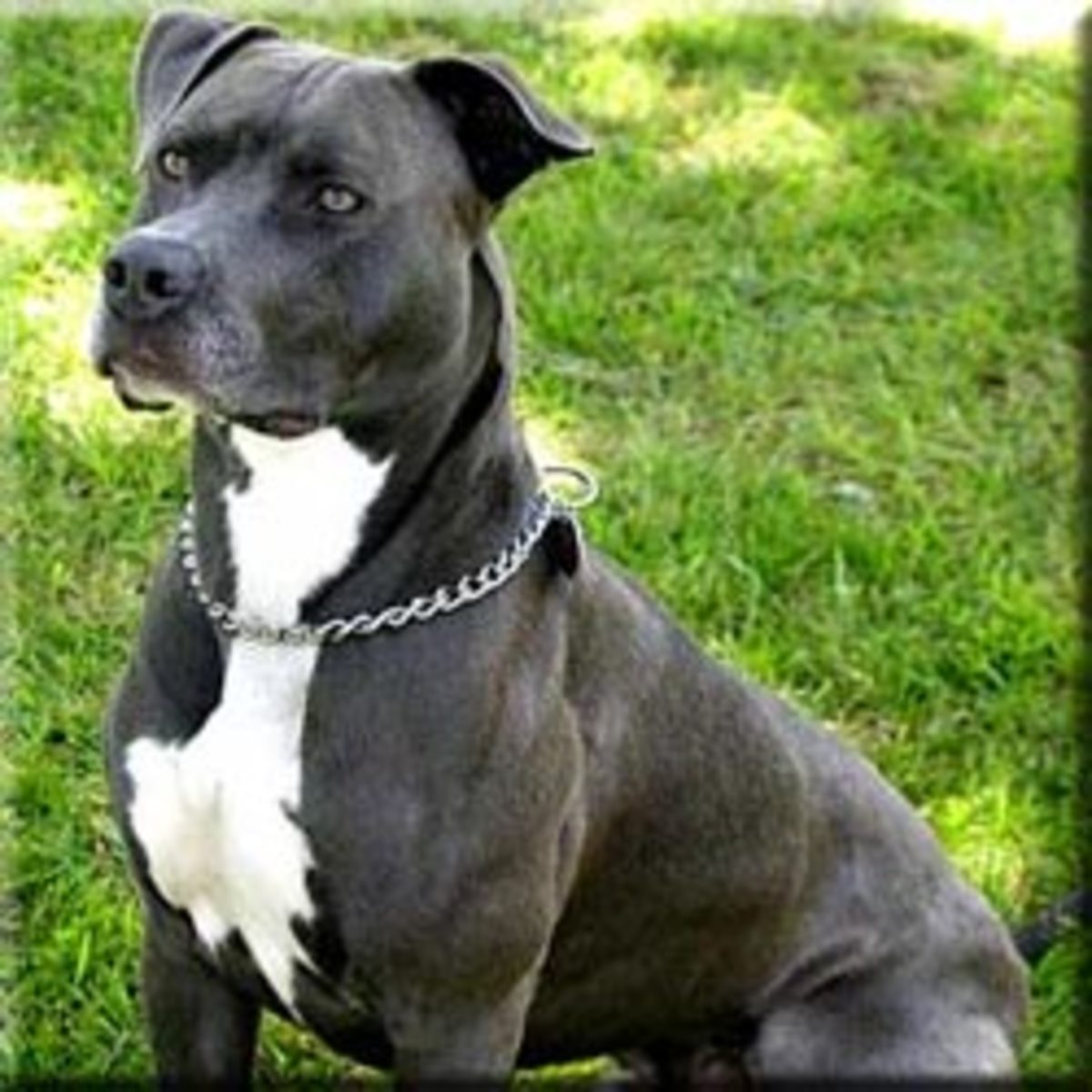 10 Dog Breeds Most Commonly Mistaken for Pit Bulls