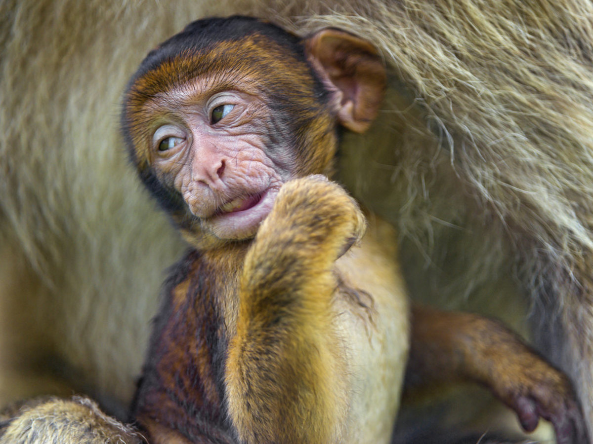 Unimpressed baby macaque