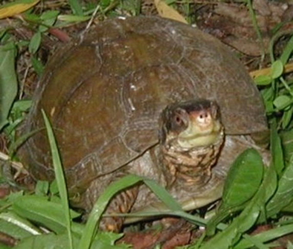 This is a Carolina Three Toed Box Turtle
