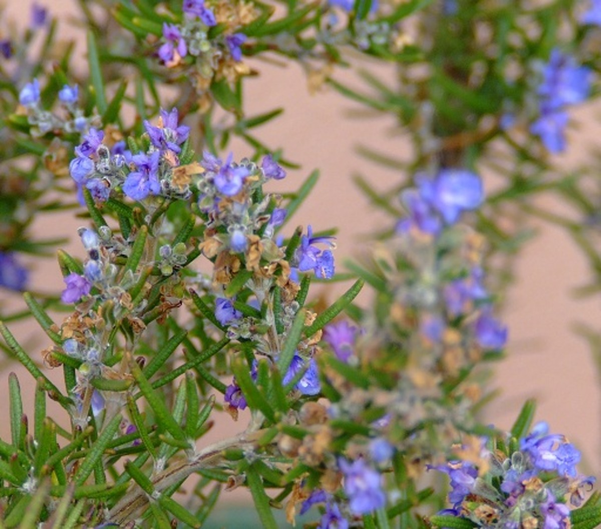 Rosemary has the ability to boost your mood and energy levels - it's a great tonic for students studying for exams