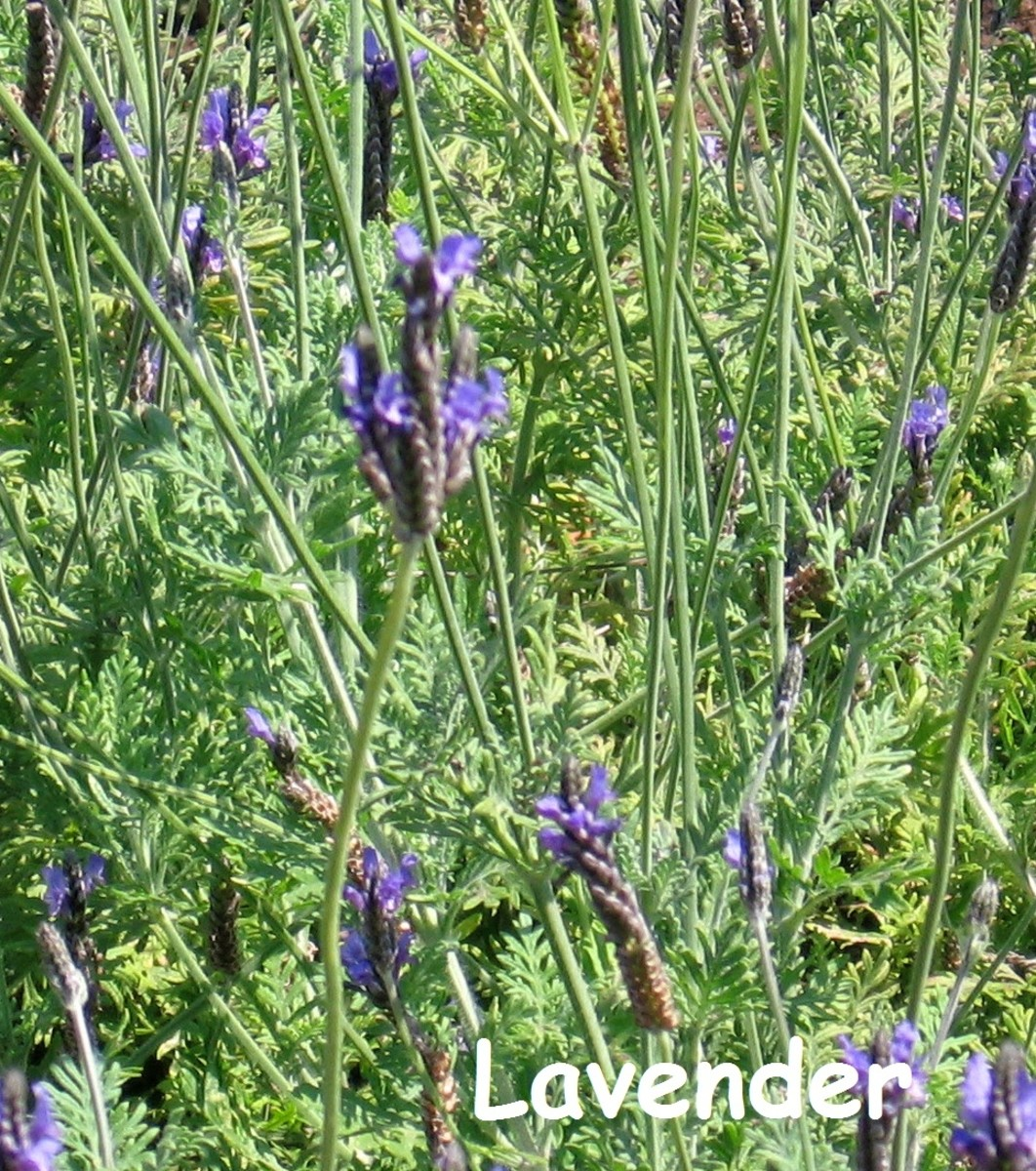 Lavender, easy to grow and so versatile - it can be used in a lot of different natural herbal cures.