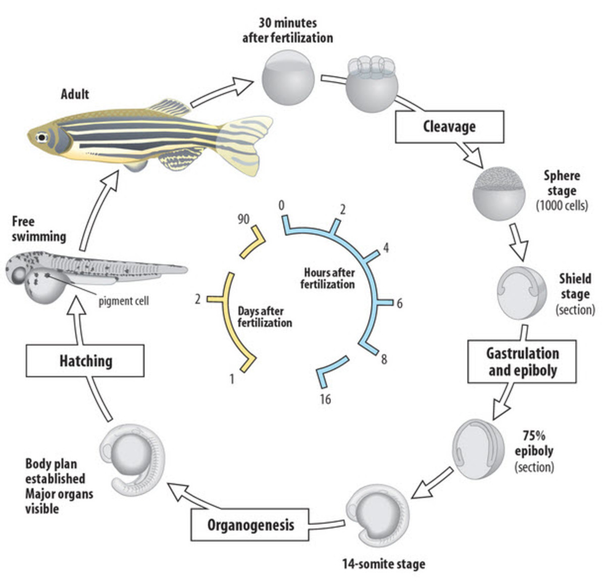 Zebrafish take no time at all to develop--one of their many advantages as a model organism.