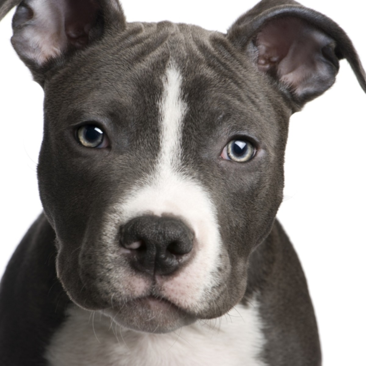 Is a Pit Bull Right for My Family?