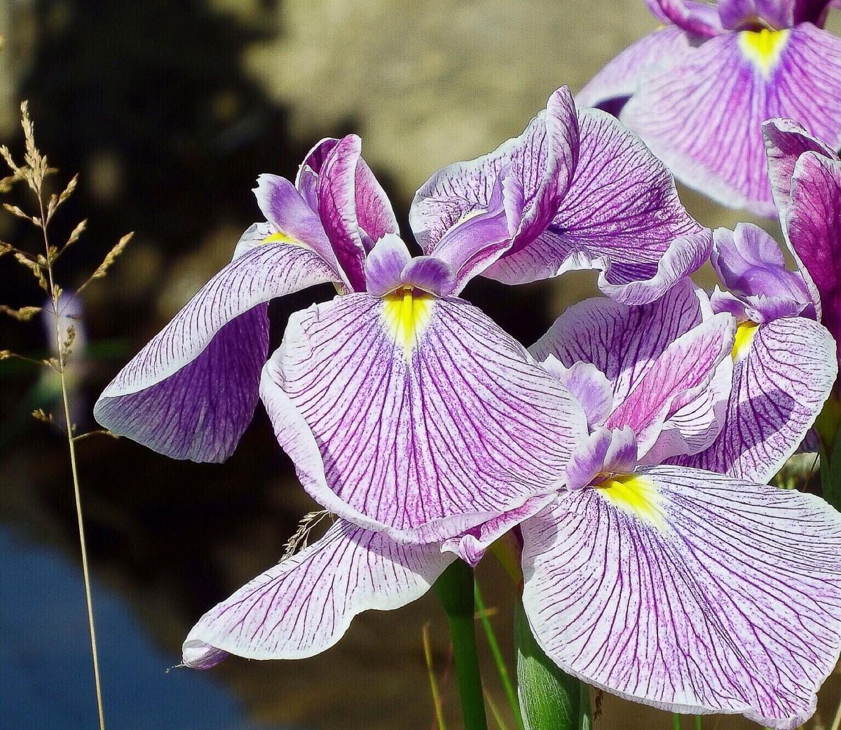 Irises growing in a botanical garden