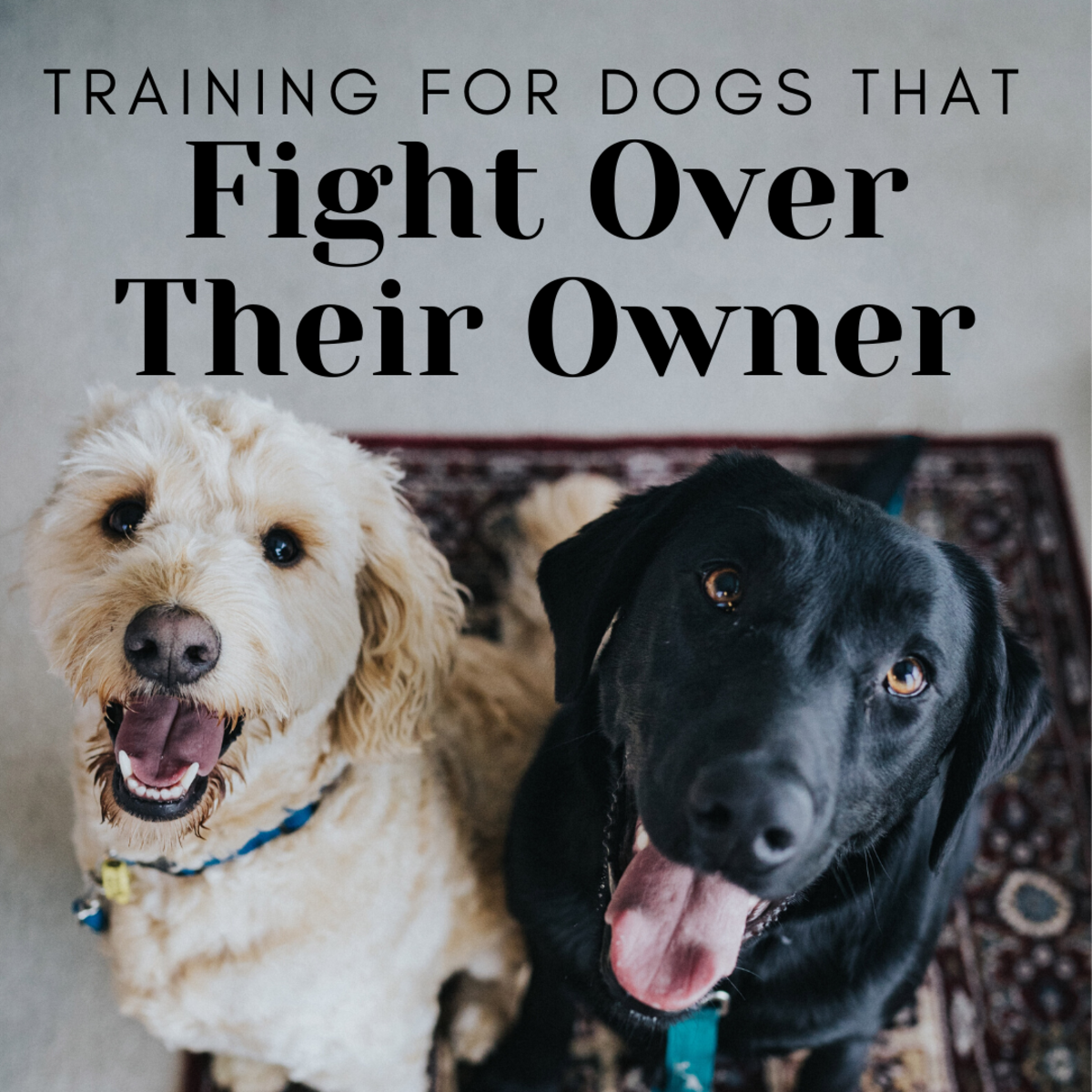 How to Stop Dogs From Fighting Over an Owner for Attention