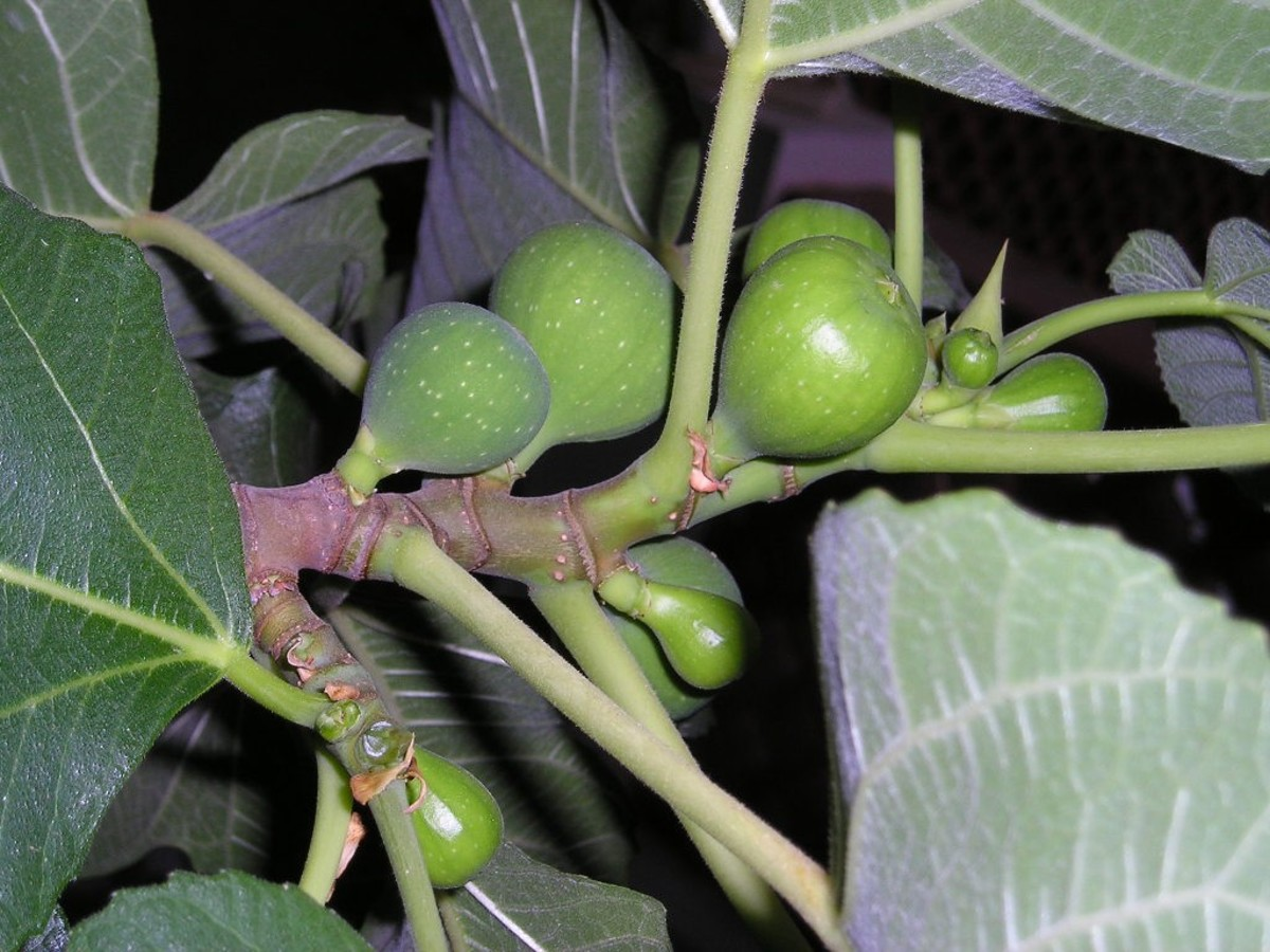 Close up of a fig branch showing unripe figs.
