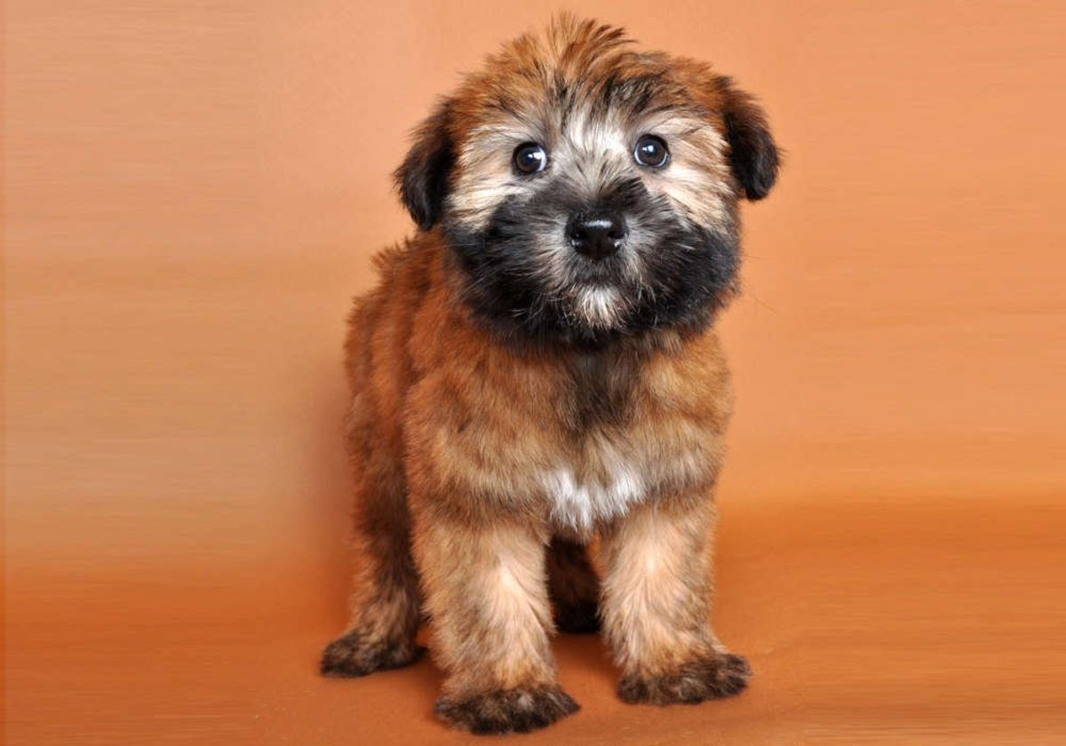 Why Wheaten Terriers Are The Best Family Dog In The World