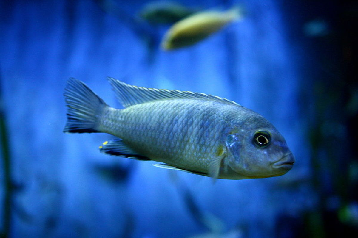 African cichlids are beautiful fish, but can be highly aggressive.