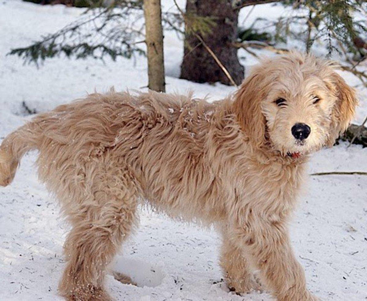 A popular hybrid dog: the Goldendoodle