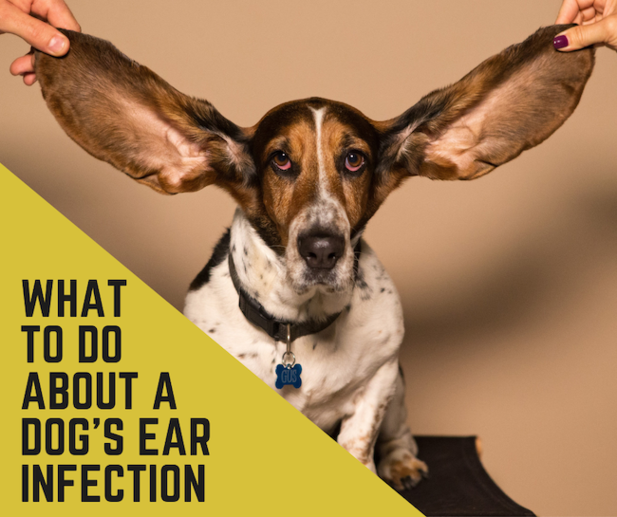 Read on to learn how to help heal your dog's ear infection.